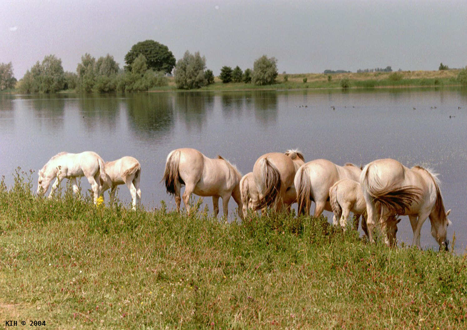 Horses drinking from lake [NL 2001]   KIH